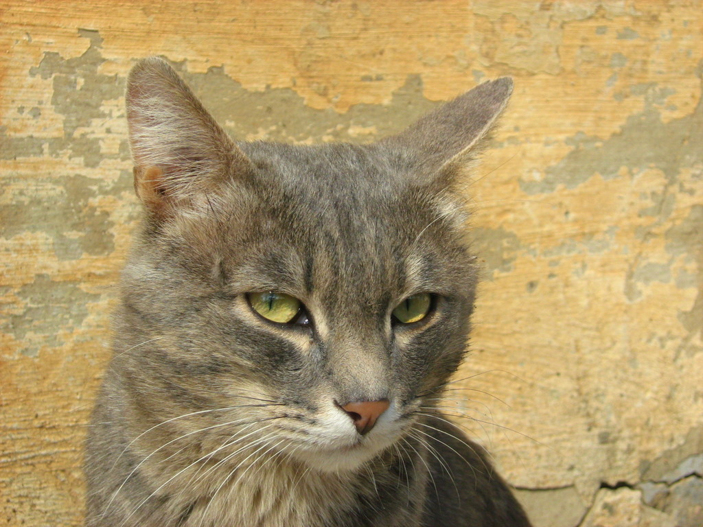 Serious Smoky-Tabby Cat