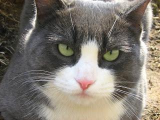 Lazy Blue-White Fat-Cat