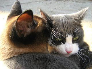 Blue-White Cat vs. Siamese Twin-Cat: Round Two