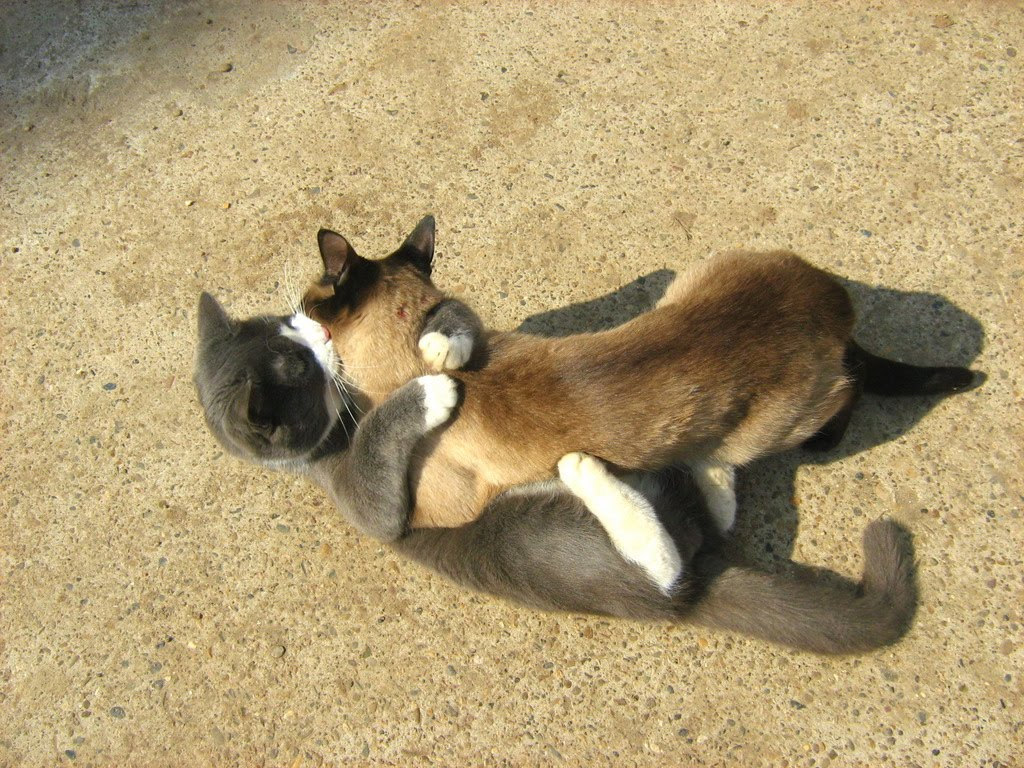 Blue White Cat Vs Siamese Twin Cat Round Two Russian