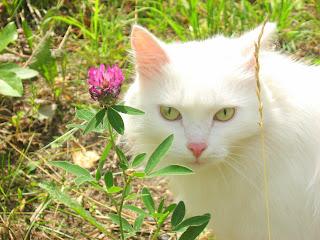 White Fat-Cat