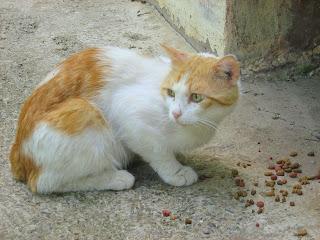 Ginger-White Cat