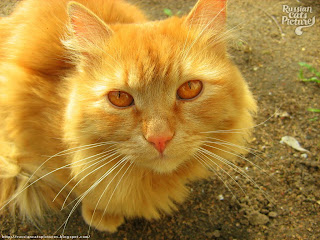 Red-Eyed Red Mackerel Tabby Sad Cat