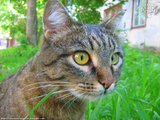 Yellow-Eyed Brown Mackerel Tabbie Sweet Cat