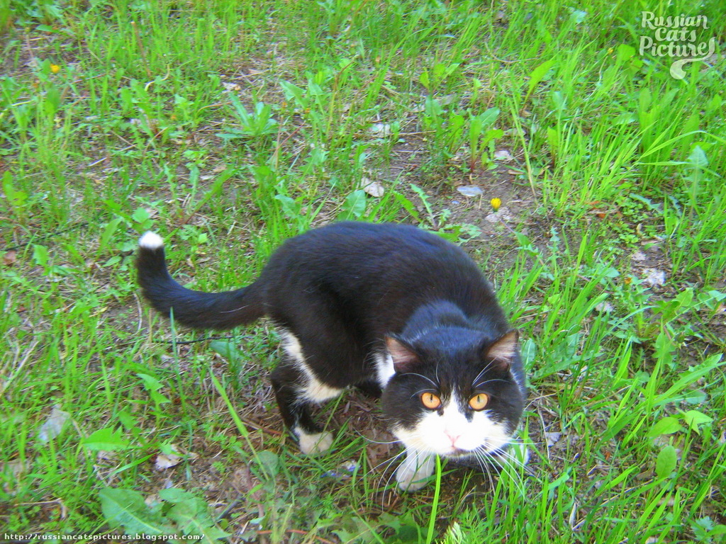 Yellow-Eyed Black with White Watchful Fat Cat
