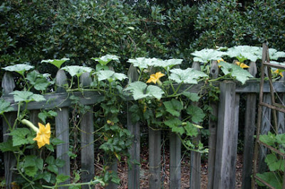 morning in flowers of my vining tromboncino squash a cucurbita moschata cultivar - Vining Flowers