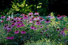 Pink Echinacea for Healing