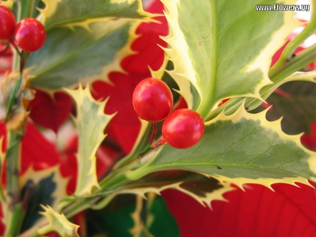 Christmas Holly Animated Wallpapers