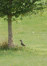 Juvenile green woodpecker (17.08.08)