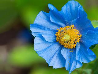 Achtergrond met blauwe bloem