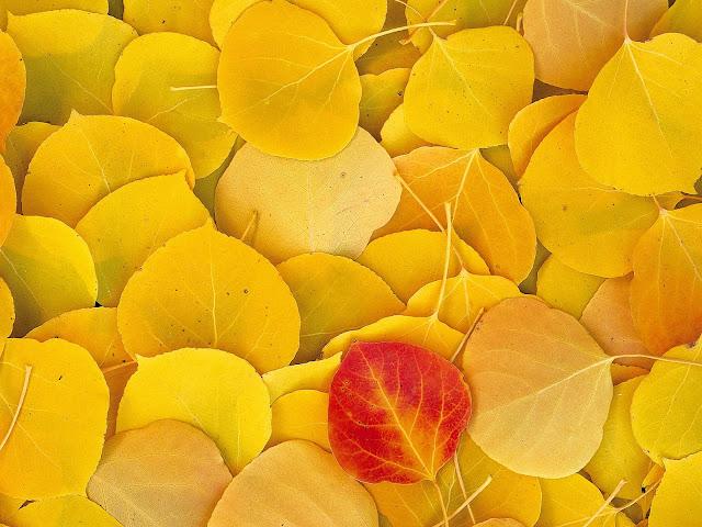 Gele bladeren en een rood blad