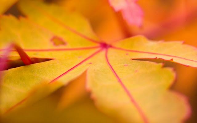 Geel blad met rode nerven erin