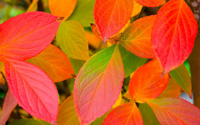 Rode herfstbladeren
