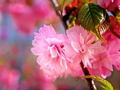 cherry blossoms wallpaper. spring wallpaper