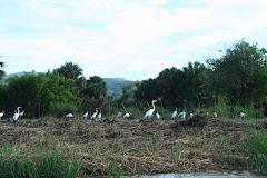 herons, egrets and storks