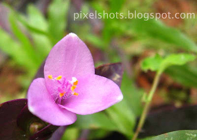pink heart flowers closeup,wandering jew flowers,air filtering garden plants,ornamental plants with phytoremediation,Drought tolerant garden plants,plants suitable for xeriscaping, plants growing indoors,pink-flower-closeup,pink-kerala-garden-flowers,cannon powershot flower photos,three petaled tiny pink flower,kerala-flowers
