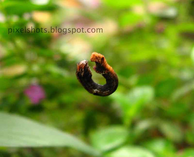 small-worm-dangling-in-the-shape-of-ring,small-ring-worm-macro-photo-from-gardens,plant-eating-worms-in-kerala-gardens,garden-pests,cannon-powershot-macro-photos
