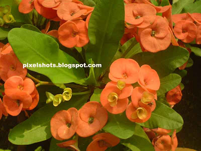 orange flowers of euphorbia millis,light red tiny flowers,garden flower bunch,small flowers group closeup,kerala flowers,flowers of spiky garden plant with white sap,euphorbia millii flowers with funnel like middle petals,tropical ornamental flowers and plants,drought resistant garden plants,high resistance garden plants,less care needed garden ornamental plants