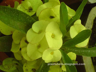 green flowers of garden plant,Eak Wilai flowers,shrub like spiky garden plant with white sap,water retaining garden plants,crown of thorns,christ flower,poisonous garden plant,euphorbia milliis,natural bouquet of green flowers with leaves