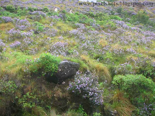 neelakurinji flowers in munnar-kerala,violet flowers which blooms once in 12 years,rarest-seasonal-flowers-of-kerala,munnar-photos-in-tour-season