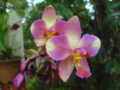 ground orchid,common-kerala-orchid-flowers,violet-tinted-orchid-flowers,fresh orchids