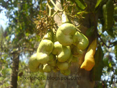 cashewnut fruits hanging on the cashewnut tree photographed using cell phone cameras