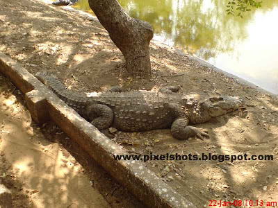 biggest crocodile found in crocodile bank madras india, sleeping crocodile, giant crocodile, big indian crocodile, zoo crocodile, reptile zoo photos, indian reptile parks,crocodile laying in pit of the zoo, close crocodile photos