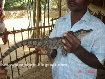 man posing with crocodile baby in hands from crocodile bank of madras india, crocodile babys, crocodiles, handling crocodiles, pay and take crocodiles in hands, reptile zoo