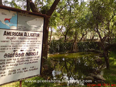 american alligator crocodile species pit and pond in crocodile park, pits to grow crocodiles, crocodile breeding pits, reptile park pits