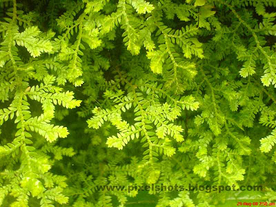 ferns closeup photograph from home garden taken in macro focus mode of digital cellphone camera