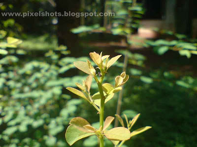 tender budding leafs of a garden plant photographed in morning sun light