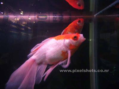 golden fish varities,white orandas from fish aquariums photographed