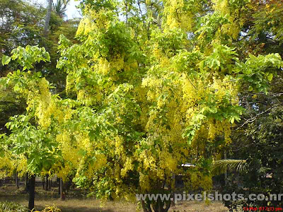 kanikonna a tree with yellow flowers,gold-shower-trees,golden-shower-flowers,festival-flower,the symbol of prosperity in keralas culture and flower which is used for the festival vishu in kerala