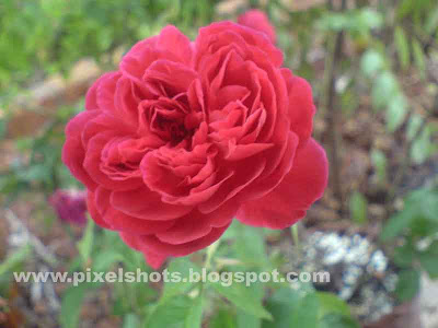 closeup photograph of red roses from the home gardens,photographed in macro lens mode of camera
