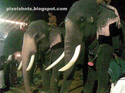 Elephants,kerala-elephant,elephant-SIVARAJU,temple-elephant