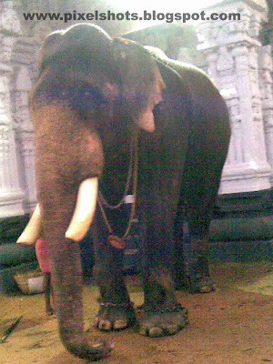 elephant named SEKHARAN,temple-elephant-names,kerala-elephants-names-photos,temple-elephant