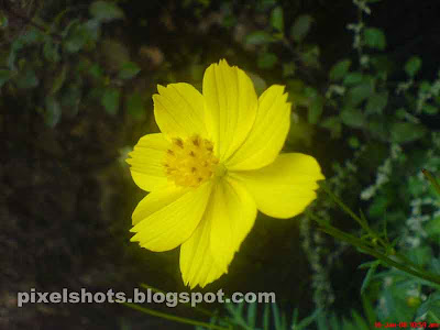 bright cute yellow flower photograph from home garden plants,photo of the flower in closeup camera mode ie in macro lens shoot mode,cute yellow flower photograph from india kerala