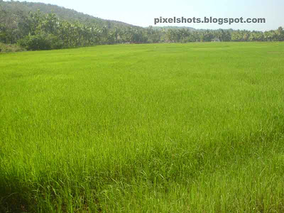 wide rice fields photo,rice fields in kerala state of india,rice fields in India,green fields of paddies