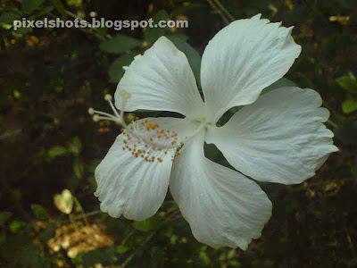 white flowers kerala india,white hibiscus flower,white hibiscus with medicinal value from kerala,flower with medicinal value used in Ayurveda