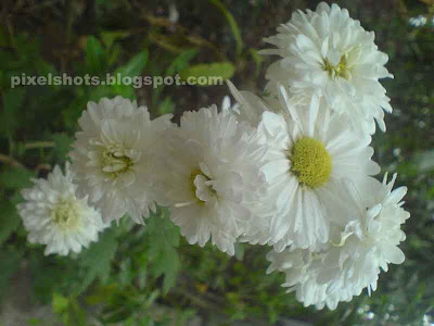 Kerala flowersyellow and white flowers of jamanthicommon south white chrysanthemumsindian chrysanthemumwhite jamanthy flowerswhite flowerskerala flowers mightylinksfo