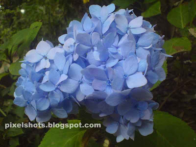 hydrangea flowers from garden,violet flower,hydranchea violet flower bunches,violet natural bouquet of flowers,garden plants,hydrandrea flowers,collective flowers,natural flowers,flower bunch,ornamental flowering plants