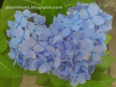 hydrangea garden plant flowers,hydrangea flower formation,flower bouquet in shape of heart,natural flower bunch shaped like heart,Kerala flowers,hydrangea garden plants,hydrangea indian flowers,indian garden plants,flowering garden shrubs,spring season flowers