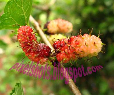 morus-alba,morus-fruit,medicinal-fruits,fruit-medicine-diabates-type-2,obesity-medicine,pink mulberries
