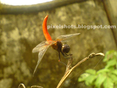 red flying insect photo,red dragon fly macro shot,insect photography,mobile phone photos,k750 camera macro photos,insects