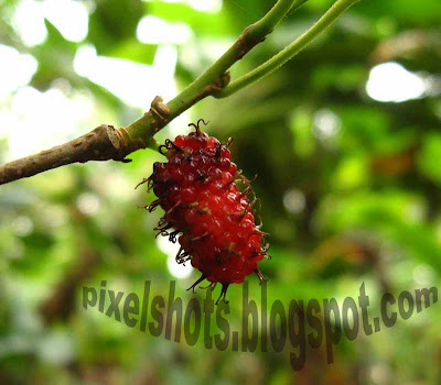 mulberry-fruits,fruits-kerala,pixelshots-fruit-photos,macro-photos,red-tree-fruit,cannon-digital-camera-macro-mode-photo,half-ripen-mulberry