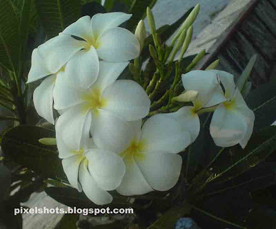 chembaka-poovu,white-flower-bouquet,exotic-tropical-flowers,fragranted-flowers,plumeria-photos,flower-photography-with-cellphone,kerala-flowers