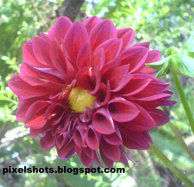 violet dahlia flowers,arabian-night,dalia flower,kerala flowers,dahlia flower facts,flower closeup photo