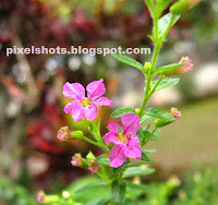 violet tiny flowers,closeup mode photo of tiniest garden flower,violet flowers photographed using cannon powershot