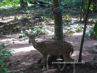 spotted deer photo,spotted deer in thenmala deer park,axis deer,pulli maan,chital,cheetal