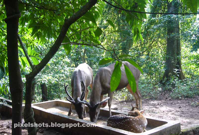 deers in kerala deer park,thenmala deer park deer photos,spotted deer and barking deer with samba deer,seer herd in wildlife conservation park of India kerala